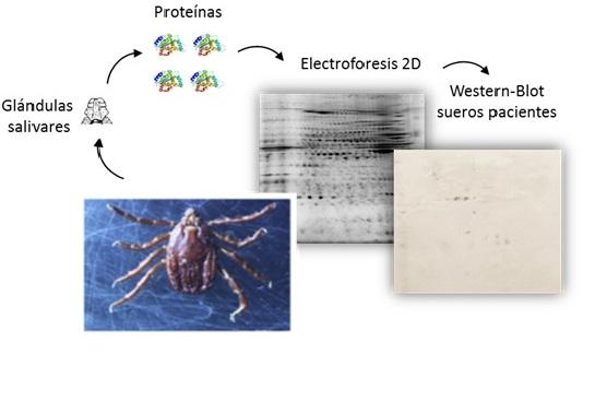 Identificación de proteínas de garrapata inmunoreactivas a pacientes con anafilaxia a su picadura