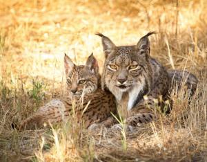 """Seminario titulado: """"La restauración del lince puede reducir la abundancia de otros depredadores"""" @ Cafetería del IREC"""